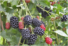 Blackberries – incomparably aromatic
