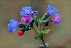 Pulmonaria changes colour
