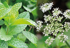Peppermint and caraway seeds