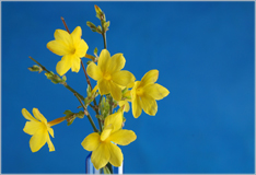 Winter jasmine – a hint of spring in mid-winter