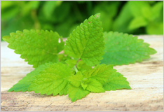 Lemon balm to freshen up your cooking