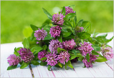 Red clover: from the meadow to your salad