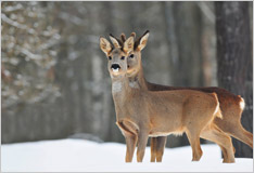How wild animals survive the winter