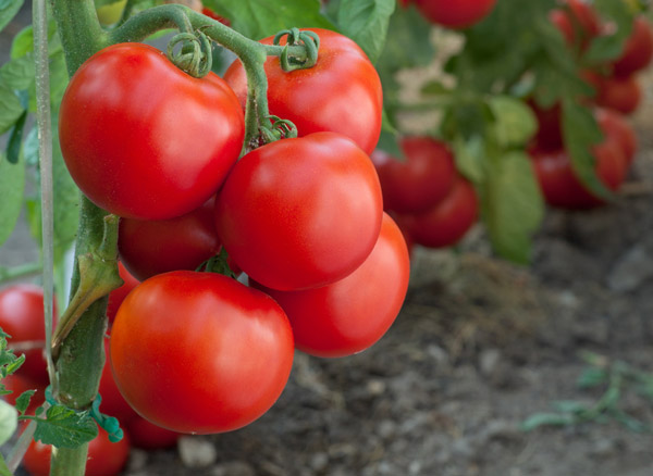 Clever Storage Organic Tomatoes Are More Healthy